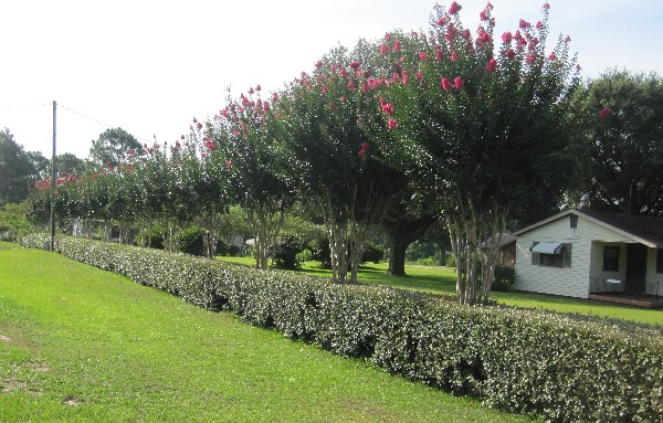 Photograph of the incredible hedge which fronts US Highway 96 between Hattiesburg and Mobile, and the white house which it accents.