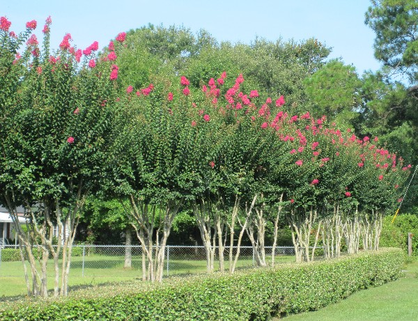 Photo of the South's most beautiful hedge, featuring beautiful flowering crape myrtles, located on Moffett Road (US Highway 96) in Wilmer, Alabama across from the Big Creek Baptist Church.